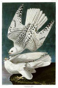John James Audubon, White Gyrfalcons, 1827-1838, hand-colored engraving, Birds of America