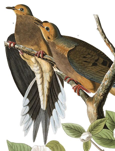 John James Audubon, Carolina Piegeons (Mourning Dove), 1827-1838, hand-colored engraving. from Birds of America