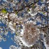 Cherry Blossoms, courtesy of J. Hart