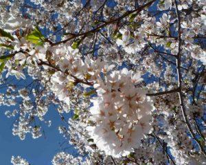 Cherry Blossoms, courtesy of J. Hart